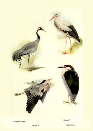 Common Crane, Heron, Stock & Night Heron